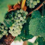 Os aromas dos vinhos