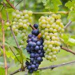 A Pinot Noir no Brasil