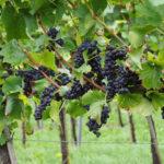 Formação de Sommelier e Profissionais do Vinho-Ciclo I-NOITE