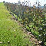 Vinhos Brasileiros do Rio Grande do Sul - CURSO ONLINE